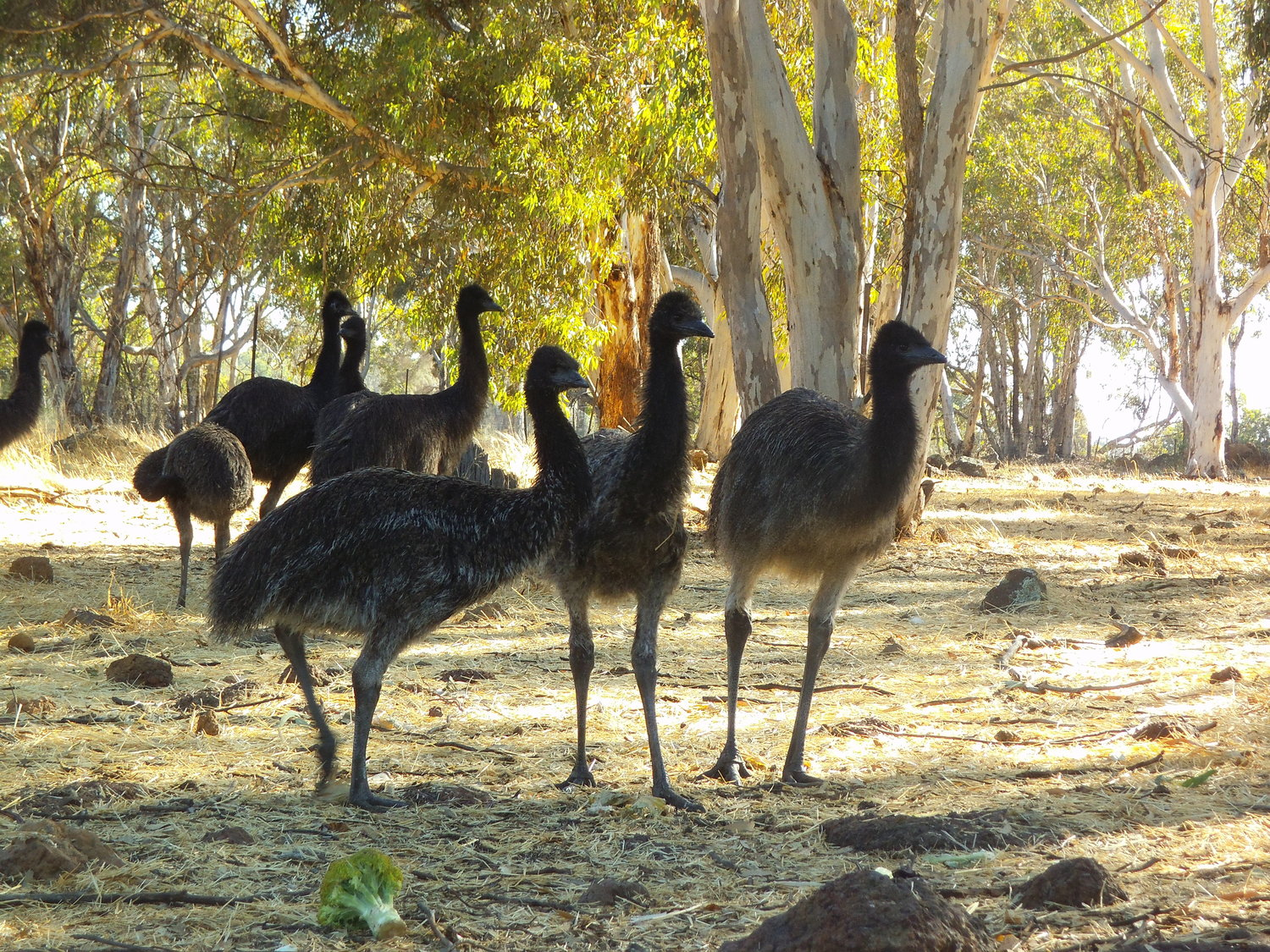 The indigenous people of Australia were the first users of emu oil